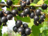 Смородина селеченская (черная) — описание ягоды, видео выращивания и секреты повышения урожайности (125 фото)