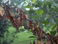 Бактериальный ожог груши — 115 фото как выглядит ожог и чем можно спасти урожай. Видео советы от экспертов