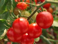 Борная кислота для томатов: применение подкормки и особенности опрыскивания томатов (125 фото)