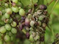 Чем лечить виноград — описание современных вредителей и болезней виноградников (110 фото)