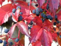 Девичий виноград — что это такое, уход и посадка особого вида винограда (100 фото)
