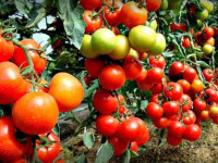 Как формировать детерминантные помидоры — правила, тонкости и особенности формирования помидоров (125 фото)