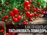 Как пасынковать помидоры — схемы правильного пасынкования в открытом грунте и в теплице (145 фото и видео)