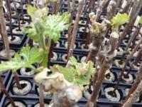 Как размножить виноград — подробный мастер класс по размножению виноградов своими руками (115 фото)