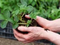 Как сажать клубнику — 130 фото как и когда правильно высаживать клубнику своими руками