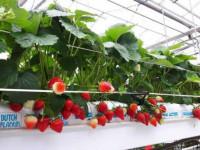 Клубника в трубах — советы по выращиванию и подробная инструкция как получить хороший урожай (105 фото + видео)