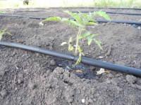 Мульчирование помидоров в открытом грунте — 110 фото и видео описание зачем нужно мульчирование для томатов