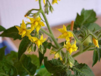 Почему опадают цветы у помидор: 125 фото и видео советы что делать для спасения завязей томатов