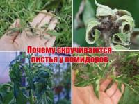 Почему скручиваются листья у томатов — главные причины скручивания и что делать при заболеваниях томатов (видео + 115 фото)