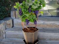 Посадка винограда — советы экспертов и профессионалов по выращиванию виноградной лозы (125 фото)