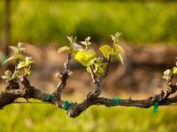 Прививка винограда — 120 фото и видео инструкция как прививать виноград правильно
