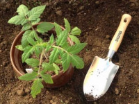 Рассада помидор — как вырастить и высадить правильно хорошую рассаду томатов в отрытый грунт и в парнике (115 фото)