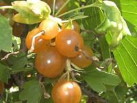 Смородина золотистая — 130 фото кустов, видео советы по посадке, уходу и выращиванию