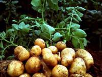 Выращивание картофеля — секреты высокой урожайности и особенности ухода в домашних условиях (105 фото)