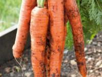 Выращивание моркови — 110 фото выращивания в открытом грунте и в теплице