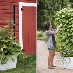 Быстрорастущие вьющиеся растения — обзор лучших вариантов для забора, правила их посадки и ухода за ними (105 фото)