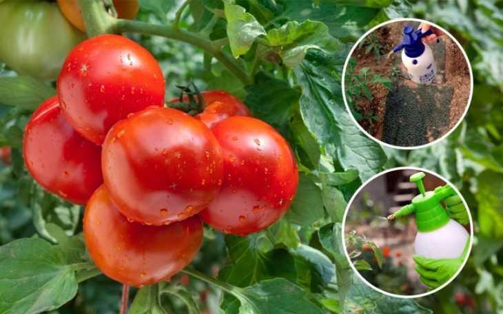 Чем опрыскать помидоры: 100 фото и видео инструкция как выбрать состав и опрыскать помидоры