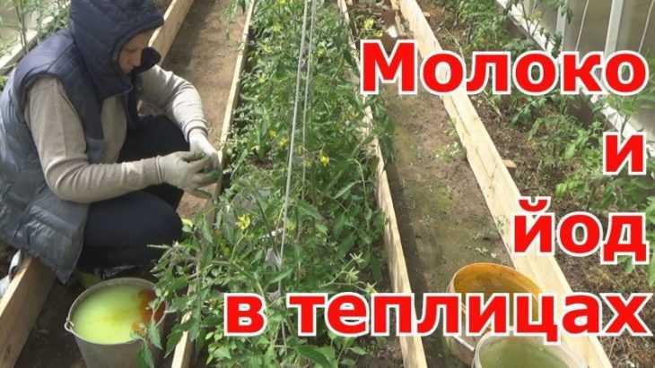 Чем подкормить помидоры - подробное описание как подкармливать разные сорта томатов (115 фото)
