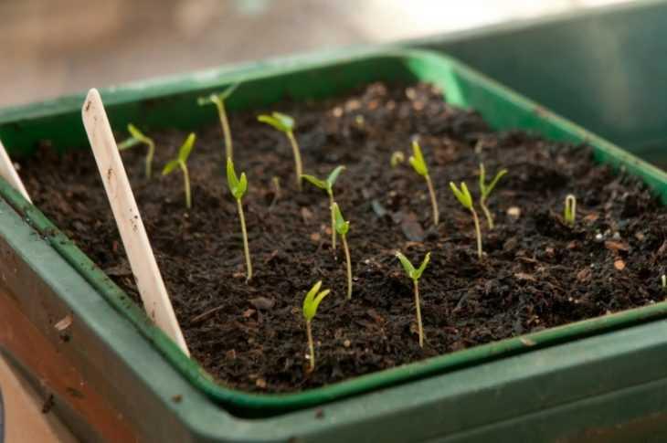 Через сколько дней всходят огурцы - этапы роста, время прорастания и признаки роста огурцов (125 фото)