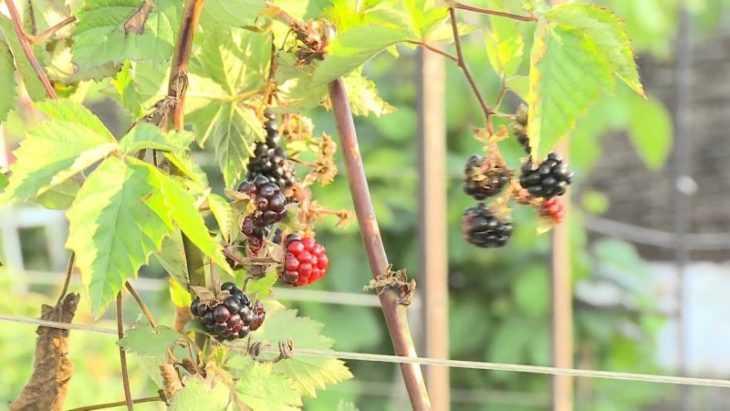Ежевика садовая - описание посадки, ухода, обзор характеристик и свойств ежевики (105 фото)