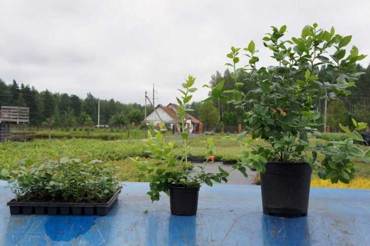 Голубика блюкроп - 125 фото и видео описание сорта голубики. Советы опытных садоводов по выращиванию