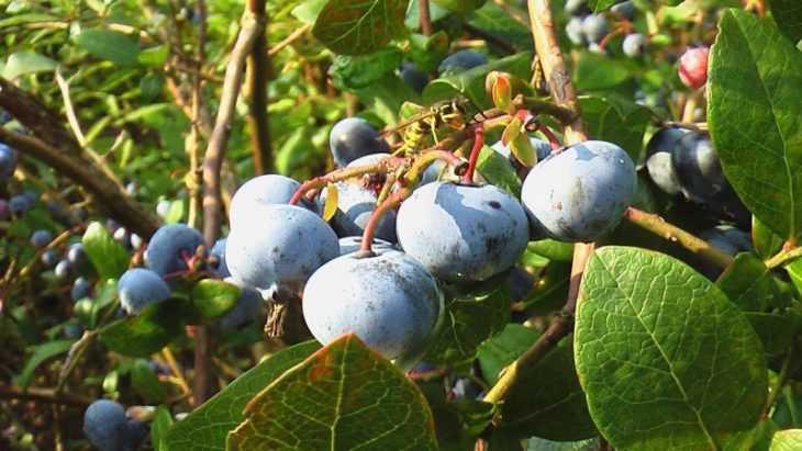 Голубика садовая: посадка, уход и выращивание. 115 фото, правила и нюансы содержания кустов ягод