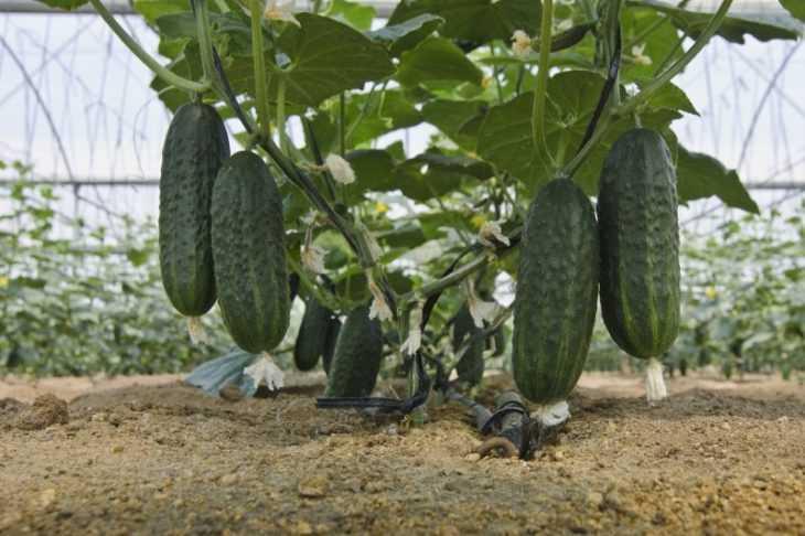 Грядки для огурцов - как сделать, нюансы выращивания и секреты обработки огурцов в открытом грунте (135 фото)