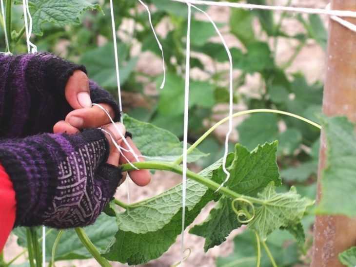 Как подвязать огурцы в открытом грунте - схемы правильной подвязки огурцов своими руками (95 фото)