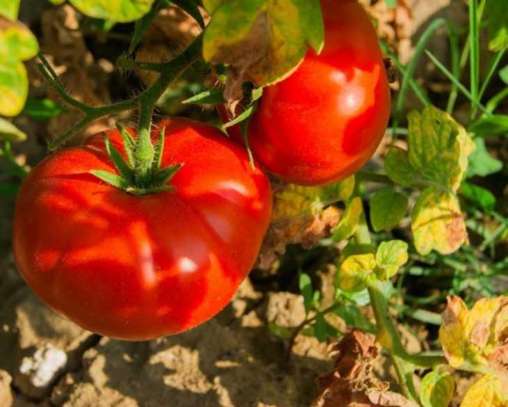 Как подвязать помидоры: пошаговое описание лучших способов подвязки томатов своими руками (120 фото + видео)