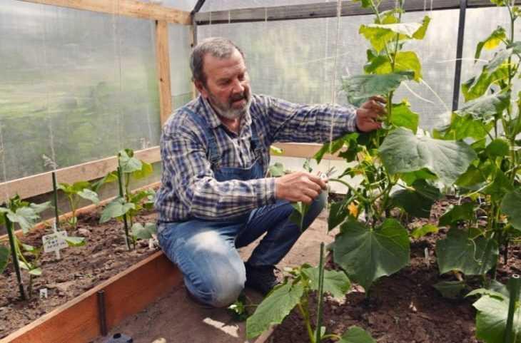 Как прищипывать огурцы - полезные советы как правильно увеличить урожайность. Пошаговое описание + 115 фото и видео