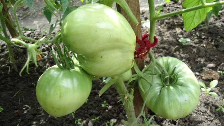 Как прищипывать помидоры - 115 фото, правила и особенности ухода за томатами в парниках и открытом грунте