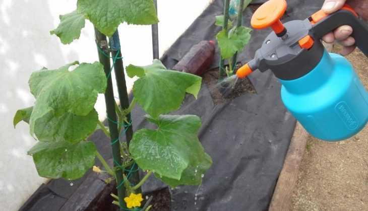 Кустовой огурец - правила выращивания самых популярных сортов и особенности посадки в открытый грунт (120 фото)