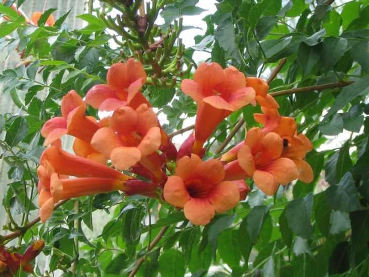 Лианы на даче - лучшие вьющиеся растения и описание их видов. Характеристики, посадка и выращивание (110 фото)