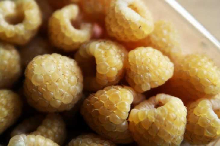 Малина желтый гигант: 105 фото и видео описание выращивания особой малины в домашних условиях