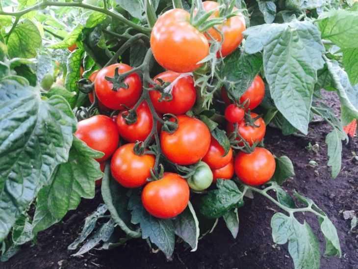 Марганцовка для помидоров: 125 фото приготовления раствора марганцовки для подкормки томатов