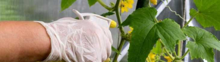 Обработка огурцов - советы по уходу и правила опрыскивания разных сортов огурцов (видео + фото)