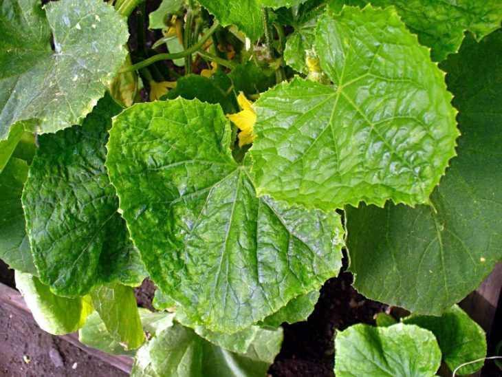 Обработка огурцов зеленкой и йодом - рецепты обработки, варианты подкормки и секреты ухода (100 фото)