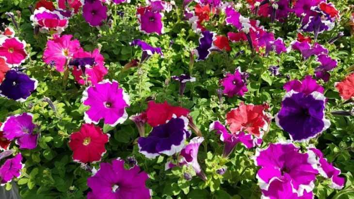 Однолетние цветы для дачи: выбираем яркие и красивые однолетние цветы для выращивания (125 фото)