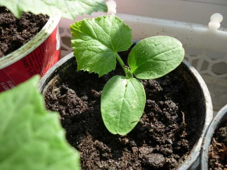 Огурцы на балконе: пошаговая инструкция как вырастить вкусные и здоровые огурцы (105 фото + видео)