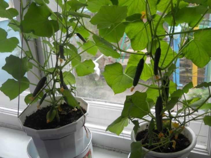 Огурцы на подоконнике: технология выращивания, лучшие варианты посадки и нюансы ухода (135 фото)