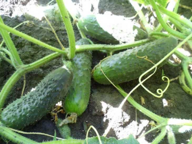 Огурцы посадка и уход в открытом грунте - особенности выбора сорта и правила выращивания (145 фото и видео)