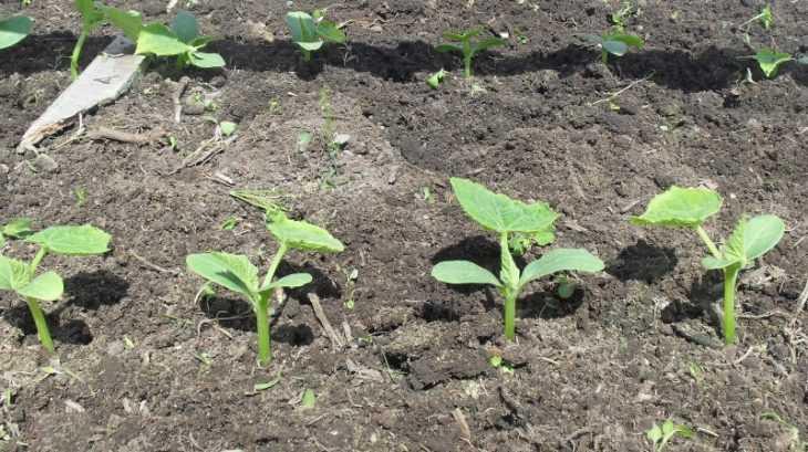 Огурец «Феникс»: подробное описание особенностей выращивания сорта (видео + 120 фото)