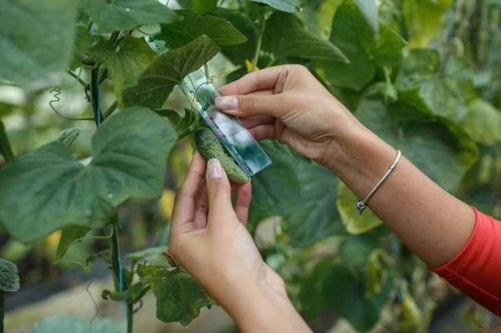 Плодоношение огурцов - инструкция как добиться высоких показателей урожайности огурцов