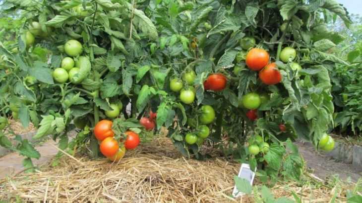 Почему чернеют помидоры - 130 фото самых простых и эффективных методов лечения томатов