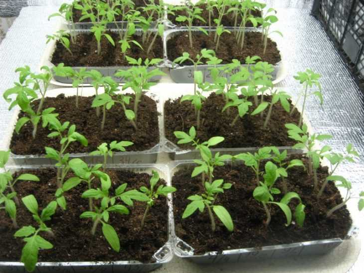 Подкормить рассаду помидор - 110 фото и видео приготовления и применения различных составов для помидор