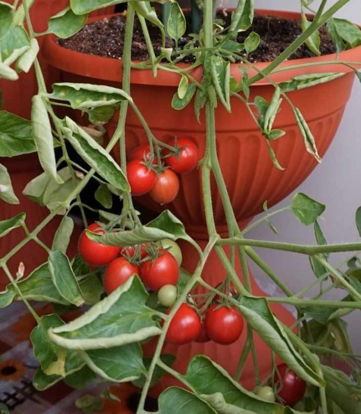 Помидоры на балконе: пошаговое описание как вырастить в домашних условиях помидоры (105 фото)