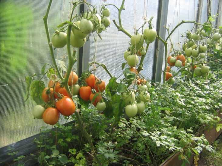 Помидоры в парнике - 100 фото посадки и выращивания томатов своими руками в парниках
