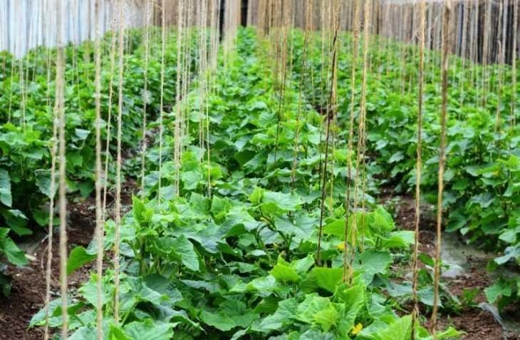 Самоопыляемые сорта огурцов: лучшие огурцы для открытого грунта и варианты их выращивания (120 фото)