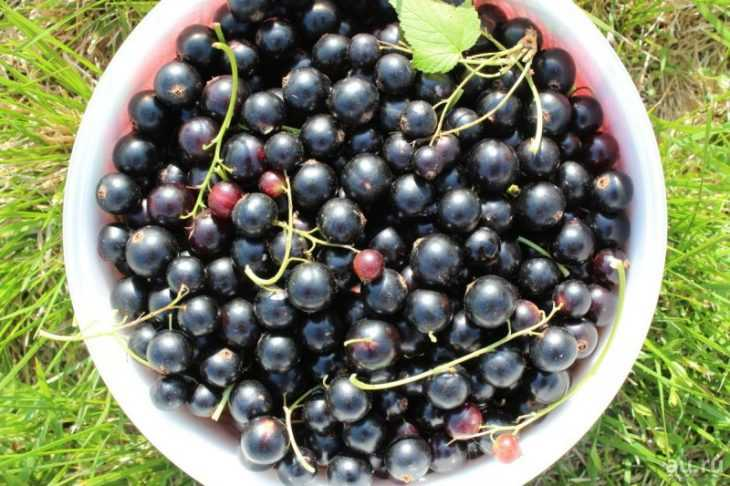 Смородина селеченская (черная) - описание ягоды, видео выращивания и секреты повышения урожайности (125 фото)