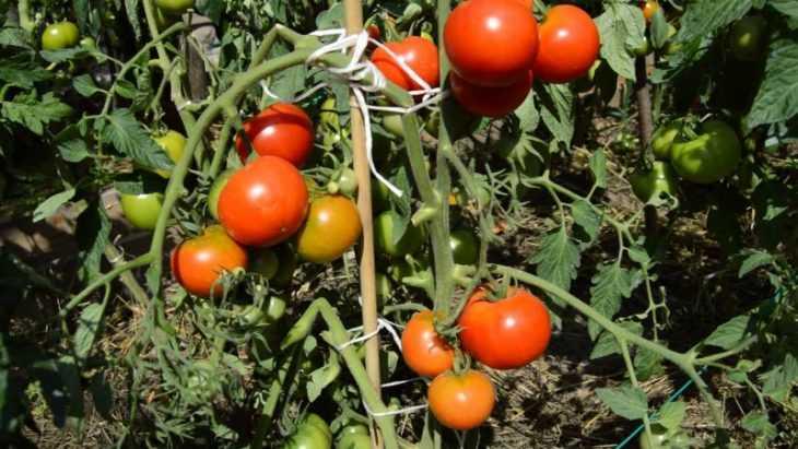 Томат андромеда: характеристика сорта, инструкции по выращиванию и подробное описание томатов (110 фото)